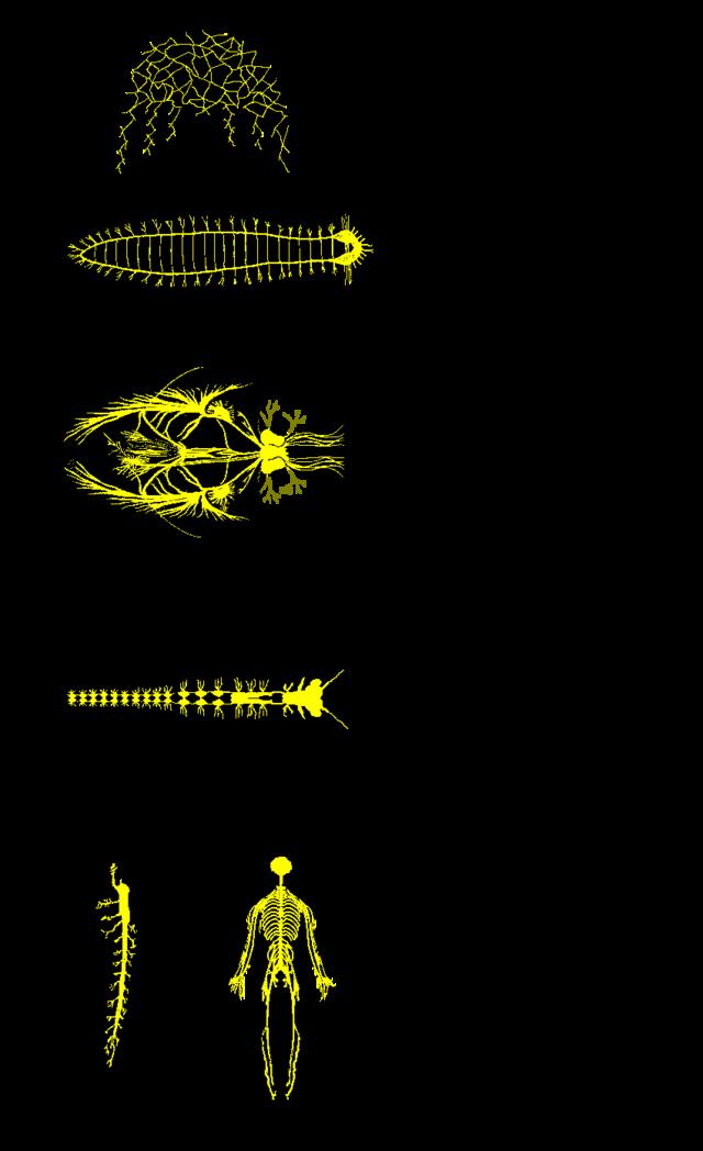 Sistema nervioso - Wikiwand