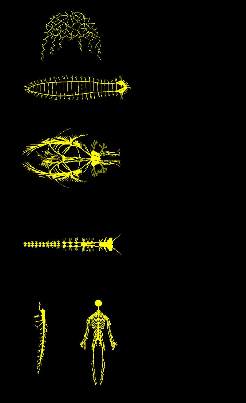 Sistema nervioso.PNG