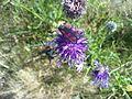 Six spot burnet moth - Zygaena filipendulae.jpg