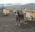 Sled Dogs in Svalbard (2003) 04.jpg