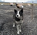 Sled Dogs in Svalbard (2003) 06.jpg