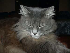 English: Sleeping long-hair cat