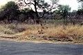 Sleepy hyaena (239233832).jpg