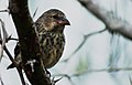 Small ground finch (4228220899).jpg