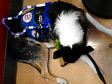 A smooth Collie, with white, black, and tan fur, is curled up, sleeping. He or she wears a harness which is royal blue and has a handle that appears to fold down over his back much like a guide dog handle. The handle itself is striped, blue and silver, and the grip appears to be ergonomic.