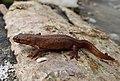 Smooth Newt. Lissotriton vulgaris (33135962471).jpg