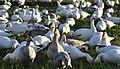 Snow geese - Fir Island - 06 (cropped).jpg