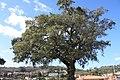 Sobreiro do Largo da Igreja - Parada de Todeia, Paredes - 03.jpg