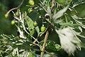 Solanum dulcamara, Fruchtstand.jpg