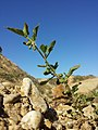 Solanum nitidibaccatum sl56.jpg