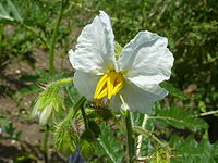 Solanum sisymbriifolium 'Sticky Nightshade' (Solanaceae) flower