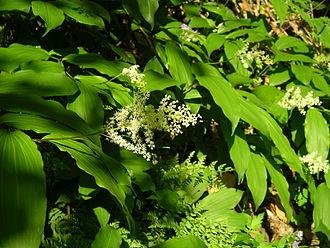 Maianthemum - Maianthemum racemosum