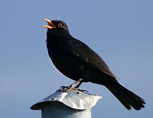 Blackbird (Turdus merula), singing male. Bogen...
