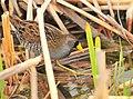 Sora on Seedskadee National Wildlife Refuge (26806377280).jpg