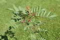 Sorbus hupehensis kz01.jpg