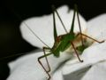 Speckled bush cricket male.jpg