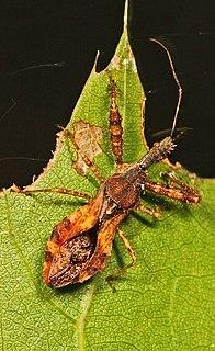 Harpactorini Tribe of true bugs