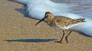 Dunlin - Adult dunlin in winter plumage, Sandy Hook, New Jersey, USA.