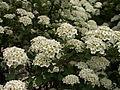 Spiraea × vanhouttei, Allegheny Cemetery, 2015-05-15, 01.jpg