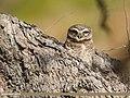 Spotted Owlet (Athene brama) (40082809343).jpg