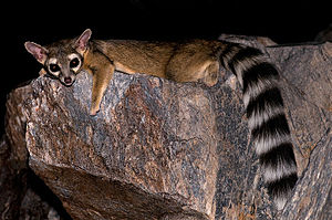 Piestewa Peak - Ringtail at Piestewa Peak