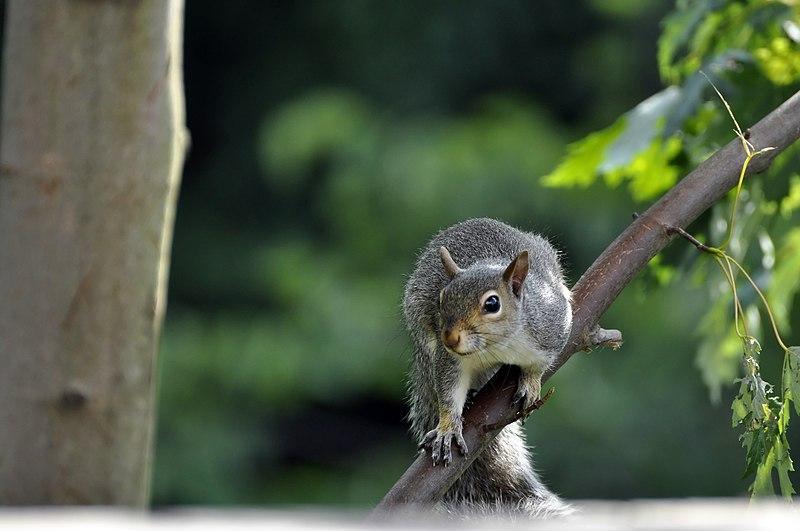 File:Squirrel (4847943868).jpg DescriptionSquirrel