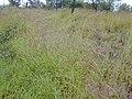 Starr-011205-0117-Hyparrhenia rufa-habit-Hwy11 Kapapala-Hawaii (24461629041).jpg