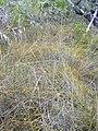 Starr-031108-2124-Cassytha filiformis-habit-Deering Park-Florida (24581507371).jpg