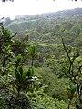 Starr-040713-0008-Cordyline fruticosa-habit-Kopiliula-Maui (24086131374).jpg