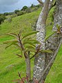 Starr-060429-8007-Charpentiera obovata-leaves-Auwahi-Maui (24494843809).jpg