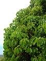 Starr-060429-8046-Cinnamomum camphora-leaves-Auwahi-Maui (24744623942).jpg