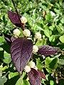 Starr-080219-2899-Alternanthera brasiliana-leaves and flowerheads-Enchanting Floral Gardens of Kula-Maui (24811294591).jpg