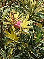 Starr-090417-6148-Nerium oleander-variegated habit and flowers-Haliimaile-Maui (24952198555).jpg
