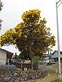 Starr-090421-6263-Tabebuia aurea-flowering habit-Pukalani-Maui (24321772604).jpg
