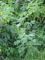 Starr-090519-8023-Tithonia diversifolia-leaves-Kula-Maui (24837666522).jpg