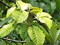 Starr-090617-0896-Sandoricum koetjape-leaves-Ulumalu Haiku-Maui (24338139943).jpg