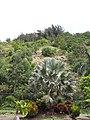 Starr-090720-3137-Latania loddigesii-habit-Tropical Gardens of Maui Iao Valley Rd-Maui (24602686639).jpg