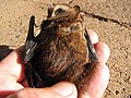 Starr-100907-9083-Eucalyptus sp-habitat with Hawaiian hoary bat Lasiurus cinereus semotus-Olinda-Maui (24755873530).jpg