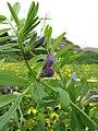 Starr-110301-1797-Vicia sativa subsp nigra-flowers and flies-Kula-Maui (24446362964).jpg