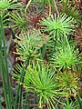 Starr-110307-2113-Cyperus papyrus-dwarf form-Kula Botanical Garden-Maui (25051271316).jpg
