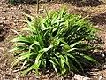 Starr-110411-4929-Dianella sandwicensis-flowering and fruiting habit form sandwicensis-Hawea Pl Olinda-Maui (24451816964).jpg