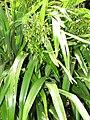 Starr-110411-4957-Dianella sandwicensis-fruiting habit form sandwicensis-Hawea Pl Olinda-Maui (25082537785).jpg