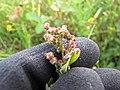 Starr-110503-5458-Chenopodium murale-seedheads-Kula-Maui (24727083719).jpg