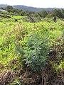 Starr-120403-4114-Ruta graveolens-flowering habit-Kula-Maui (24507779374).jpg