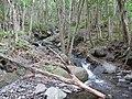 Starr-120425-9396-Syzygium cumini-trunks along stream-Waikapu Valley-Maui (25047111151).jpg