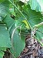 Starr-120522-6010-Anthurium sp-inflorescence-Iao Tropical Gardens of Maui-Maui (25141996745).jpg