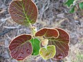 Starr-120620-9727-Actinidia deliciosa-leaves-Kula Agriculture Station-Maui (24817769939).jpg
