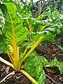 Starr-130312-1707-Beta vulgaris subsp cicla-yellow stems-Pali o Waipio Huelo-Maui (24911171710).jpg