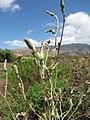 Starr-130702-5447-Lactuca sativa-flowers-Kealia Pond-Maui (25125472061).jpg