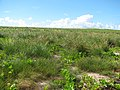 Starr-130911-3077-Cyperus laevigatus-habit on lake edge grading to pohuehue then emoloa-Lake-Laysan (24927940640).jpg